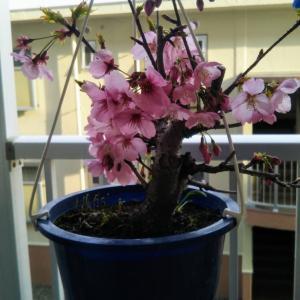 春が来た♪可愛い桜の写メが届きました(*^^*)