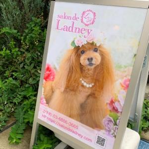 トリミングサロンの看板犬♪「salon de Ladney(サロン ド レディニー)中野店