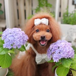 紫陽花「てまりてまり」と「ポップコーン」