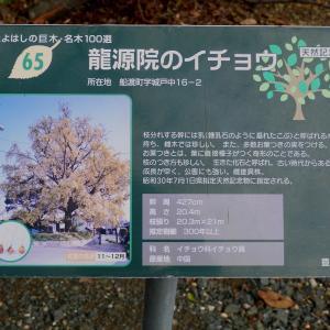 龍源院のお葉つきイチョウ