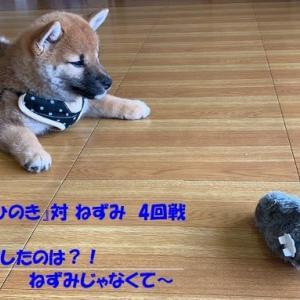 柴犬『ひのき』対 ねずみ 4回戦 ~克服したのは?!ねずみじゃなくて~