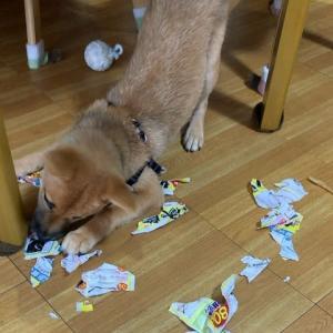 子犬の気持ち :何か噛めるモノはあるかな~!