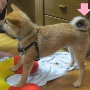 柴犬のしっぽはいろいろな巻きがある?!