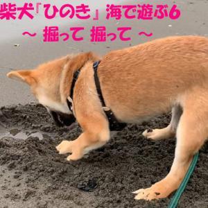 柴犬『ひのき』海岸で穴掘りがマイブーム