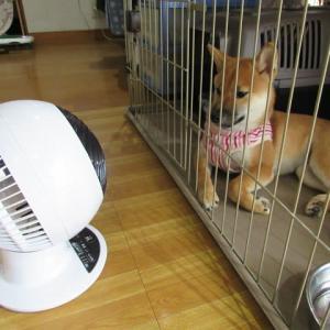 柴犬『ひのき』 She loves 扇風機  (fans)