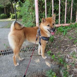 わんこにお散歩をしてもらっている飼い主