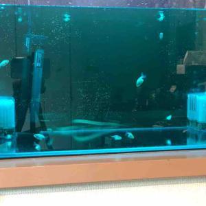 らんちゅう 江戸錦の稚魚を入手しました