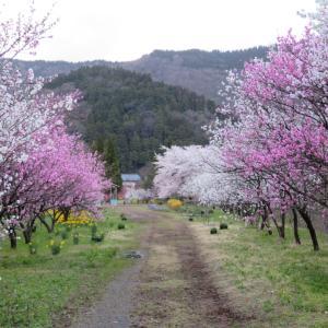 勝原の花桃①