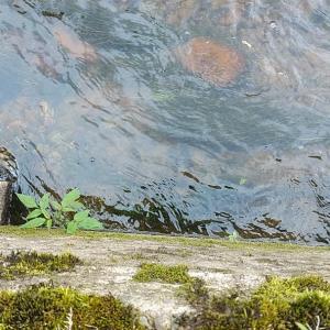 水草探索 エビモ ヤナギモ セキショウモ を採集