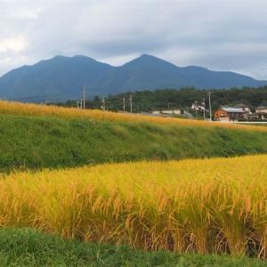 稲刈りが終わった田んぼでは 子猫たちが遊んでいます