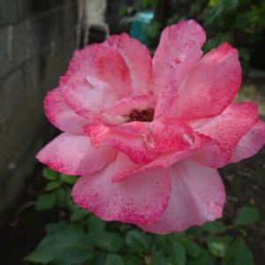 今撮ってきた庭の花たち&作りたて夏みかんマーマレード