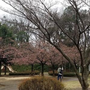 地元の河津桜も咲いてました  我が家の期待の物も着々と 今日の晩ごはん