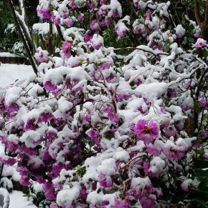 雪の日曜日  金柑の甘露煮