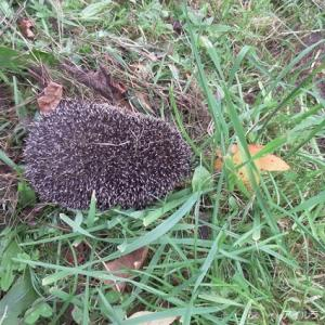 裏庭でハリネズミを発見!