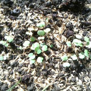秋の直植えから発芽状況
