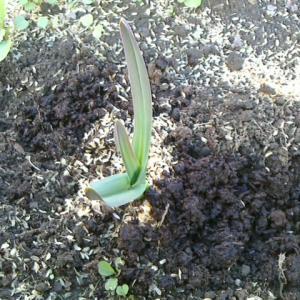 ジャンボ大蒜①の追肥①