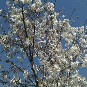 「雪の降る町、春に散る花」