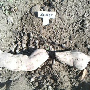 薩摩芋と紫山芋の芽だし