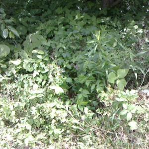 枇杷の下草刈りから収穫