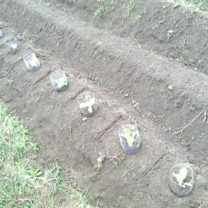 葉物三種の一番手を定植