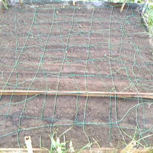 波板畝で栽培するのは牛蒡