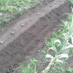 紫山芋の栽培に挑戦です