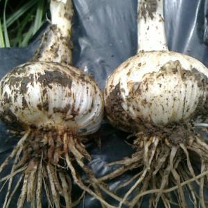 ジャンボ大蒜を収穫した
