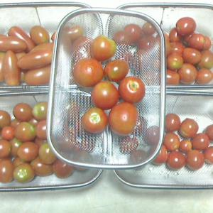 ミニトマトを種類別に収穫