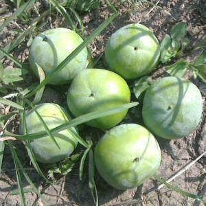 少し遅い柿の摘果作業