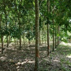ゴムの木の栽培は儲かるのか? あれから5年後、どうなった!?