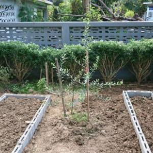 タイでオリーブの木を育てる