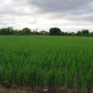 タイの米作とコメ問題