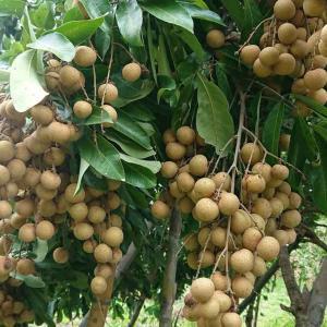 タイでラムヤイ栽培ビジネス 儲けは?コストは?条件は?