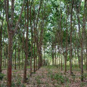 タイでゴムの木ビジネス9年目 今年の収支は?
