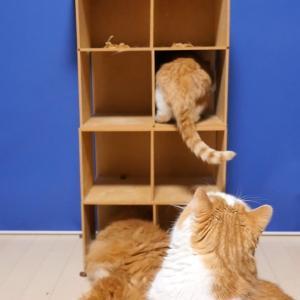 猫の日のマンチカン一家