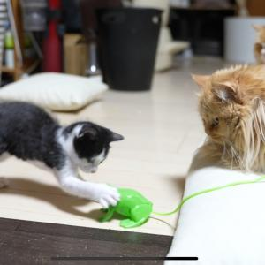 大人ネコに負けない子猫