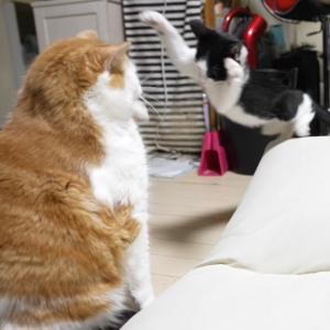 【仰天】体重5倍の猫に襲いかかる子猫!!
