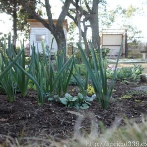 春の庭しごと 宿根草の芽吹き
