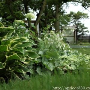 梅雨の庭に咲いた宿根草の花(タケシマホタルブクロ、アスチルベなど)