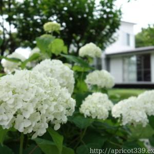 庭に咲いたアジサイの花(アナベル、カシワバアジサイなど)