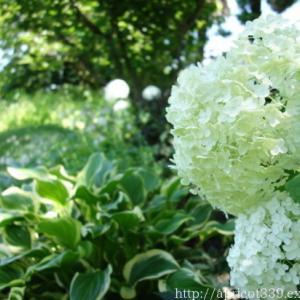 梅雨の庭しごと 庭に咲いたアジサイと宿根草の花