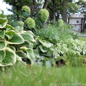 夏の庭に彩りをそえる、宿根草のカラーリーフ