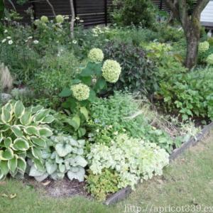 夏の庭に彩りをそえる、宿根草のカラーリーフ(シルバー・ブロンズ)