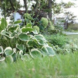 夏の庭を涼やかに わが家のギボウシコレクション
