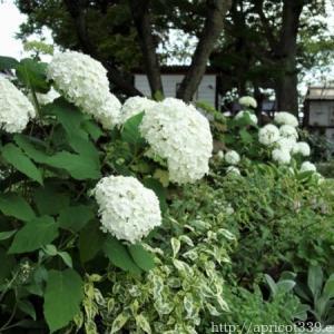 庭に咲いたアジサイの花(アナベル・てまりてまりなど)