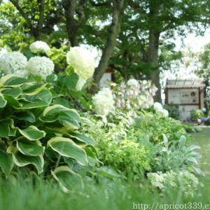 梅雨の庭しごと 庭に咲いた宿根草の花