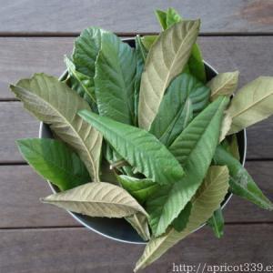 庭のびわの葉でびわ茶作り