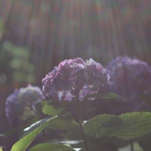 オールドレンズで撮る紫陽花
