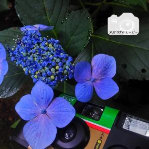 写ルンですと紫陽花