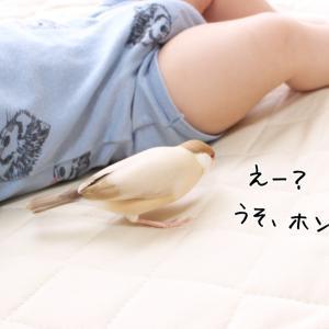 赤ちゃん観察文鳥。